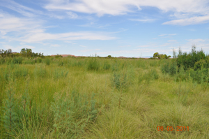 Native willows returning to the floodplain after mowing activities were ceased. May 2012