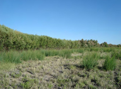 Dense riparian shrub habitat perfect for the Southwestern Willow flycatcher, June 2012